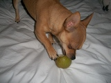 My Chihuahua LikesPears