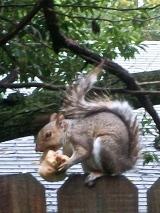 Squirrels Like PearsToo…